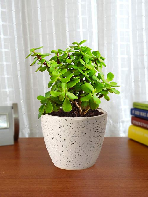 Indoor plant for eco-friendly decor